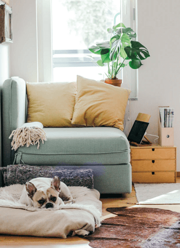 Green corner lounge chair with yellow pillows and french bulldog lying in front