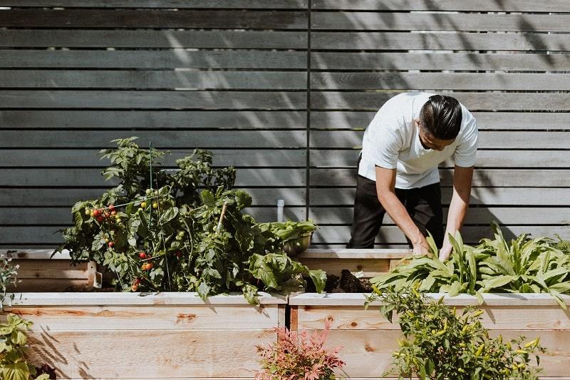 Man tending a raised vegetable garden.